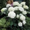 Image of Incrediball Hydrangea