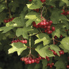 Image of High Bush Cranberry