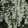 Image of Bridal Wreath Spirea