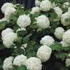 Image of Snowball Bush