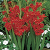 Image of Atom Hardy Gladiolus