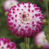 Image of Pink Attraction Dahlia