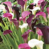 Image of Royal Majesty Calla Blend