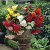 Image of Hanging Begonia Mixed