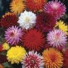 Image of Cutflower Dahlia Mix