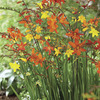 Image of Crocosmia Mixed