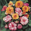 Image of Begonia Picotee Mix