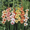 Image of Tiny Tot Gladiolus Mix