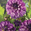 Image of Seduction Dahlia