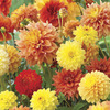 Image of Autumn Breeze Blend Dahlia