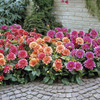Image of Margareth Kleene Border Dahlia