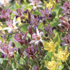 Image of Toad Lilies Mixed