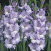 Image of Blues Gladiolus