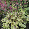 Image of Circus Heuchera