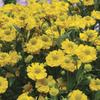 Image of Double Trouble Helenium