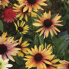Image of Evening Glow Coneflower