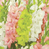 Image of Fashion Statement Blend Gladiolus