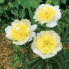 Image of Primavere Peony
