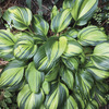 Image of Rainbow's End Hosta