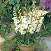 Image of Sharon Glamini Gladiolus