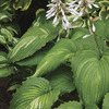 Image of War Paint Hosta