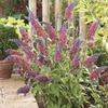 Image of Bicolor Butterfly Bush