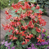Image of Skaugum Begonia