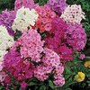 Image of Hardy Phlox Mix