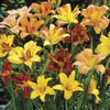 Image of Naturalizing Daylily Mix