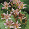 Image of Japanese Toad Lily