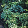Image of Mixed Hosta