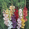 Image of Gladiolus Mix