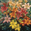 Image of Mixed Asiatic Lilies