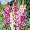 Image of Pink &amp; White Gladiolus Mix