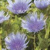 Image of Blue Danube Stoke's Aster