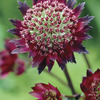 Image of Moulin Rouge Astrantia