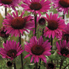 Image of Fatal Attraction Coneflower