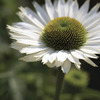 Image of Virgin Coneflower