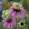 Image of Double Decker Coneflower