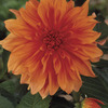 Image of Babylon Bronze Dinner Plate Dahlia