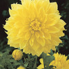 Image of Kelvin Floodlight Dinner Plate Dahlia