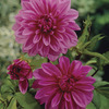 Image of Lilac Time Dinner Plate Dahlia