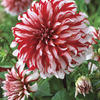 Image of Santa Claus Dinner Plate Dahlia