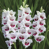 Image of Fiorentina Gladiolus