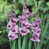 Image of Passos Gladiolus