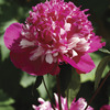 Image of Celebrity Peony