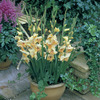 Image of Charlotte Glamini Gladiolus