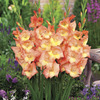 Image of Zoe Glamini Gladiolus