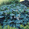 Image of Bressingham Blue Hosta