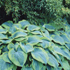 Image of Flavocircinalis Hosta